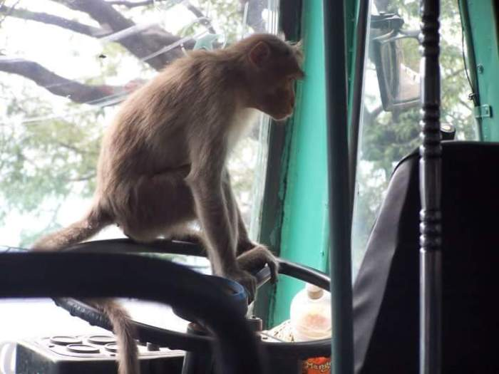 A monkey in driver's seat at Kodaikanal Photo by Sharadha